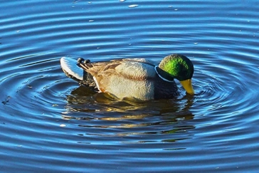 MOJO Rippler Motion Mallard Duck Decoy HW2443