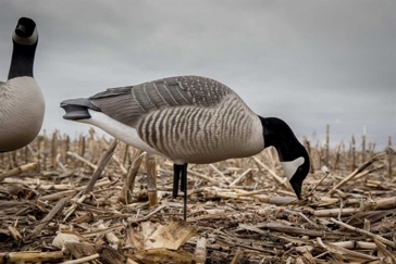 Greenhead Gear Canada Harvester 6 Pack Goose Decoys 71597
