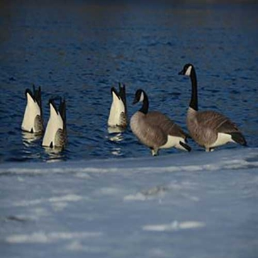 Avery Pro-Grade Honker Butt-Up Feeders 2-Pack Goose Decoys